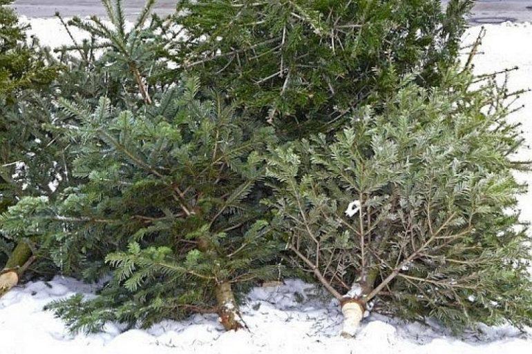 Brazii de Crăciun, colectați de la platforme în perioada 09.01-17.01.2021
